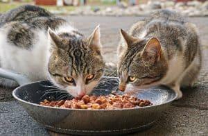 שני חתולים אוכלים